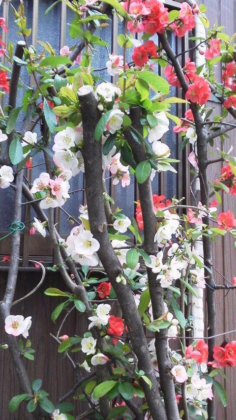 梅に似た花
