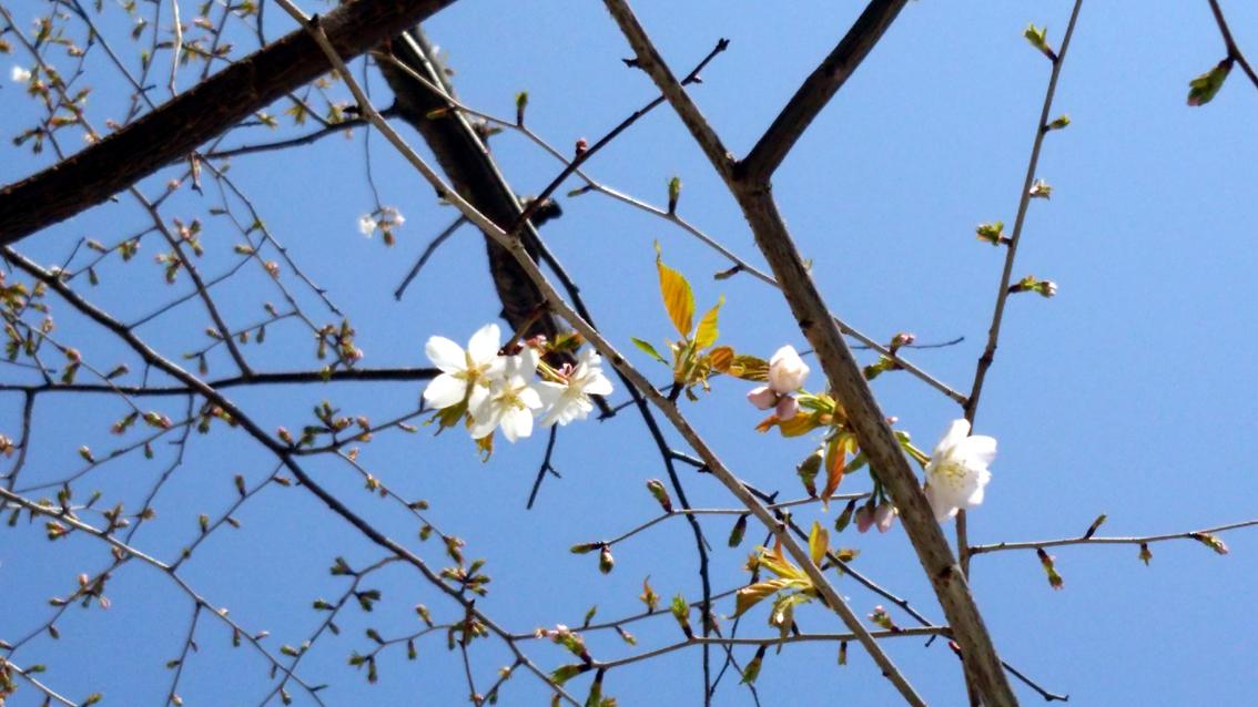 k2014会社の桜8