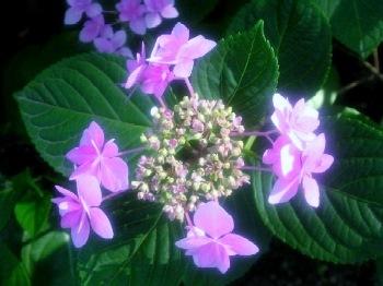 紫陽花苑1 (350x262)