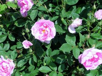 ハウステンボス可憐なバラ2008.5.13 (350x263)