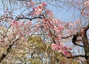 枝垂れ桜① (350x252)