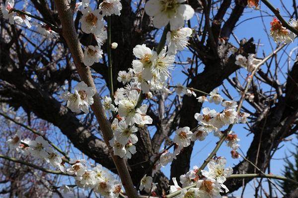 桜咲く。江南市
