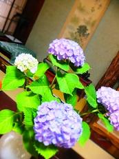 紫陽花 紫白