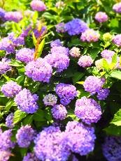 紫陽花 満開タテ