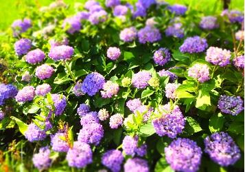 紫陽花 満開ヨコ