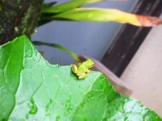 梅雨 かえる 葉