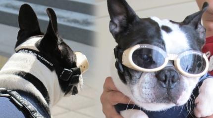 犬用UVサングラス・ドグルズ