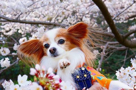 桜と一緒に♪ 14.4.1