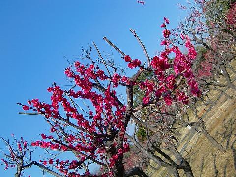 梅が満開♪ 14.2.27