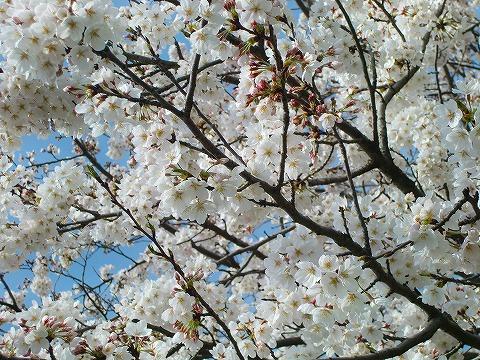 桜 14.4.1