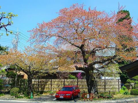 桜の木の下で。 14.4.15