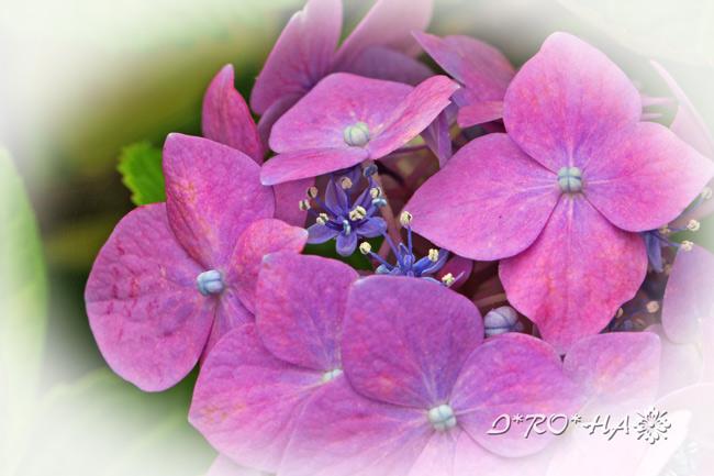 アジサイの花2