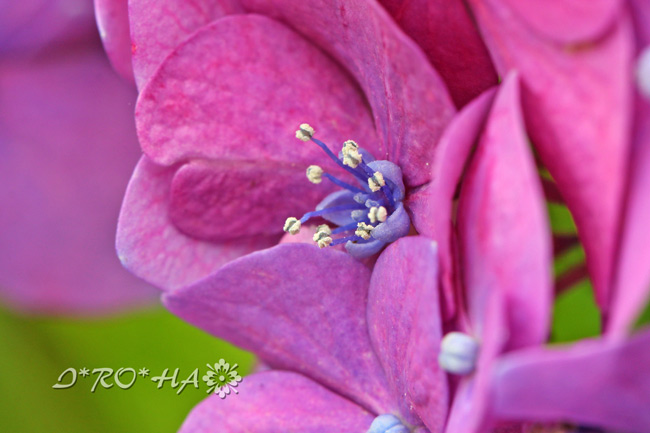 アジサイの花