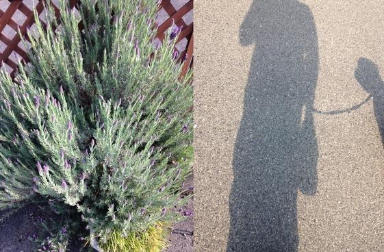 ラベンダーと散歩_140503