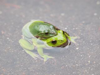 下のカエルが雌です。