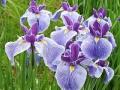 Iris-ensata06.jpg