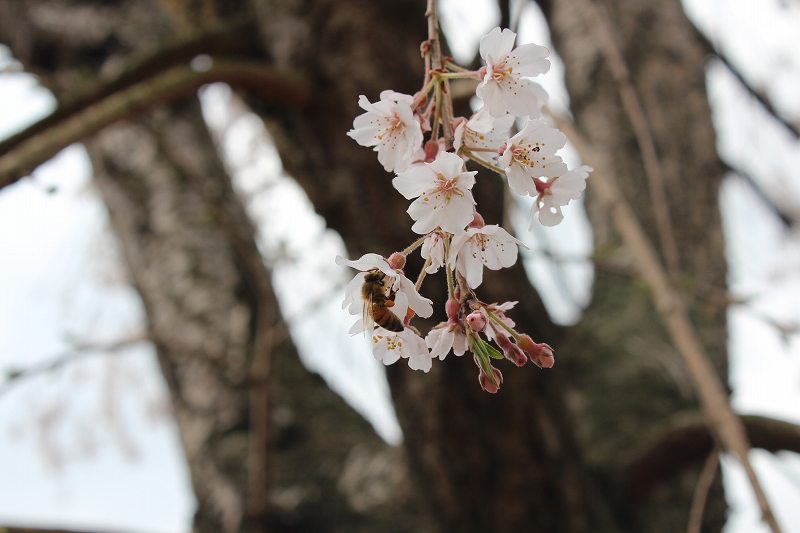 しだれ桜&ミツバチ