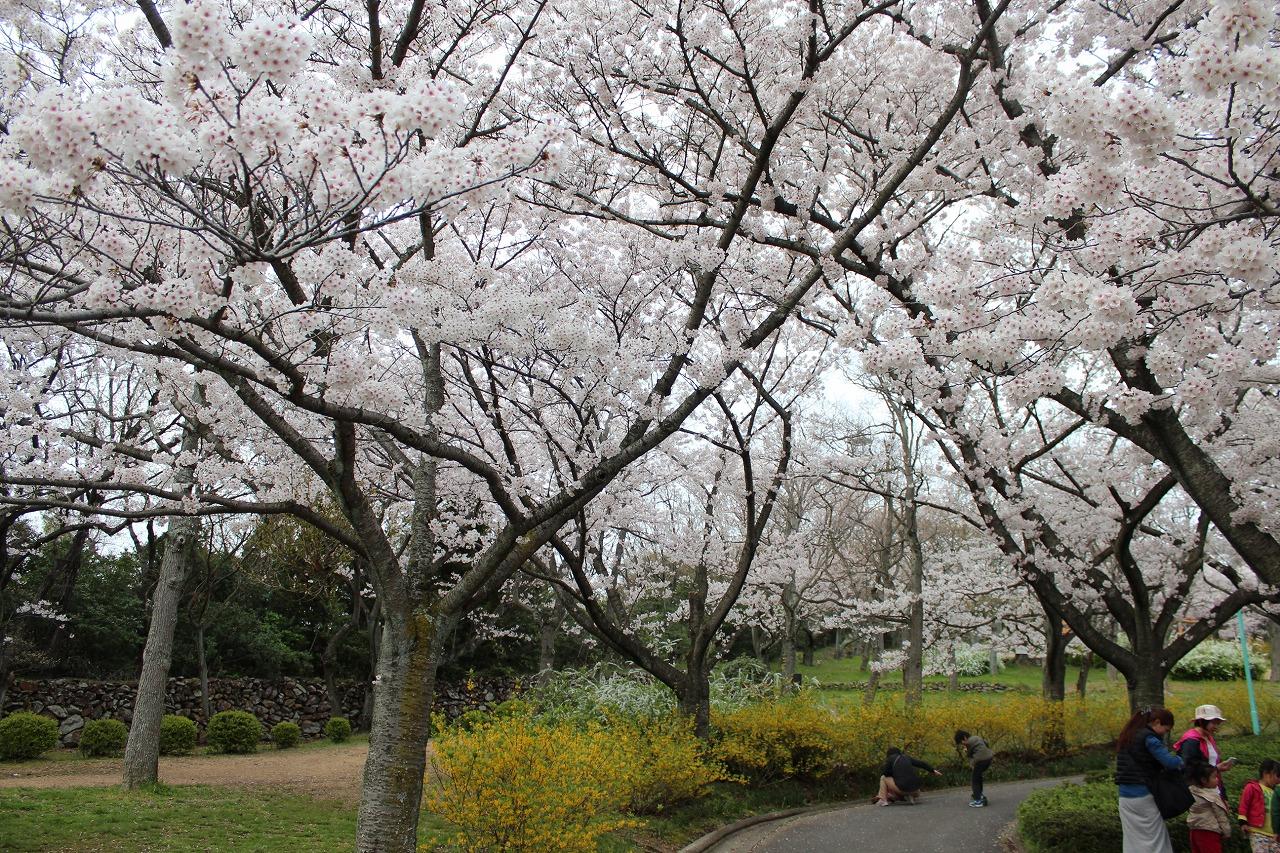 はにわっこ桜
