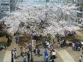 キャンパスの桜