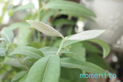 m-20140701-lemon myrtle1