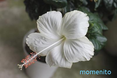m-20140706-hibiscus.jpg