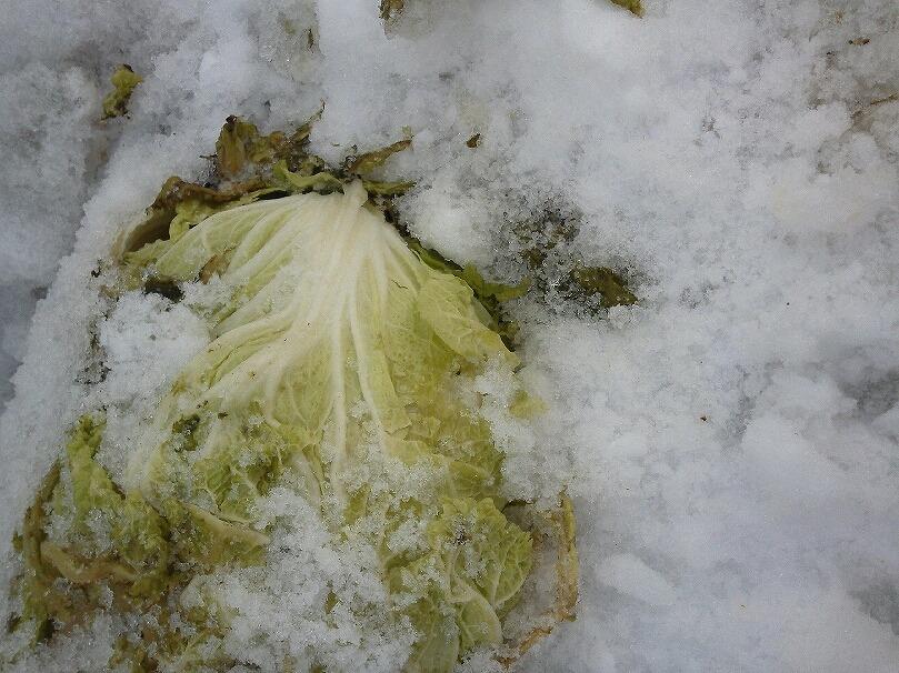 雪下白菜1KIMG0130