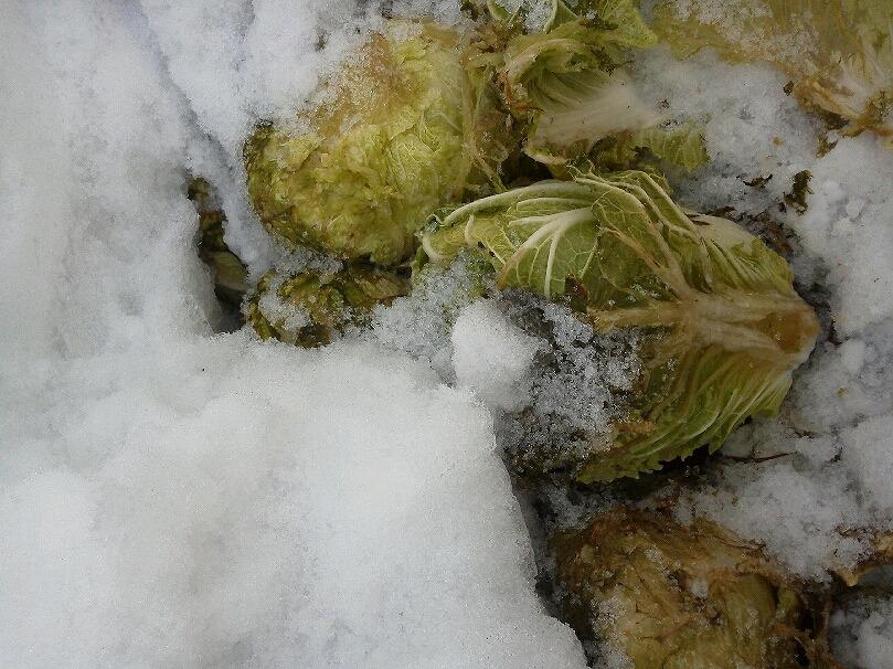 雪下白菜3KIMG0132