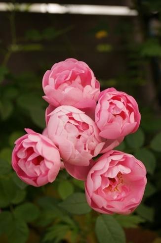 ローブリッター 花のアップ