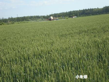 実家小麦畑