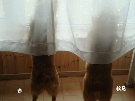 窓を覗くコーギーズ