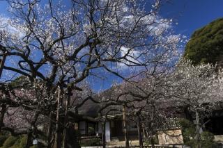 京王百草園で梅祭り