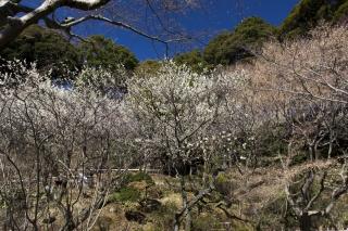 庭園の折り重なる梅の魅力