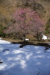 雪と梅のコラボ