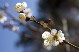 今年が最後の梅たち