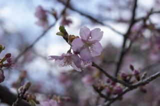 薄日がさす中咲き誇る