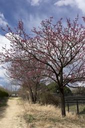 寒緋桜も咲いています