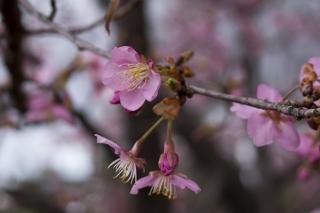 河津桜いいですね