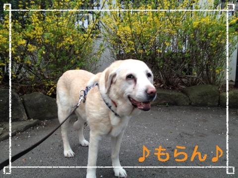140327 雨上がりの夕散歩-1
