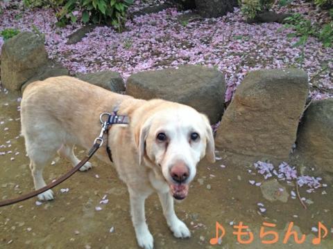 140424 桜吹雪と夕散歩-1