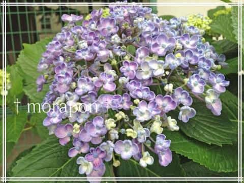 140604 紫陽花めぐり-3