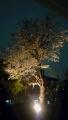 桜 日没後