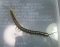 S.japonica yanbaru No.5 baby
