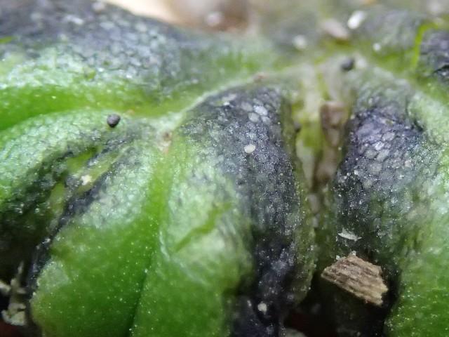Ricciocarpus3