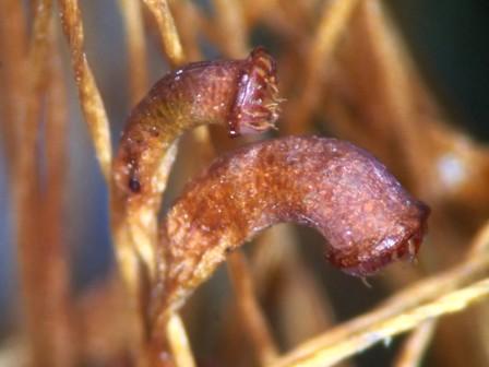 Fnaria japonica 蒴