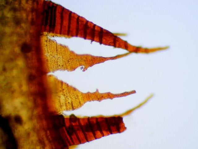 Fnaria japonica peristome