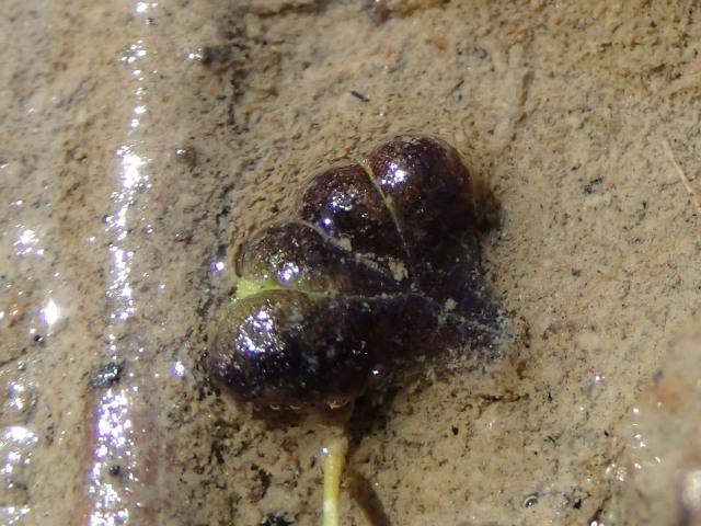 Ricciocarpus1.jpg