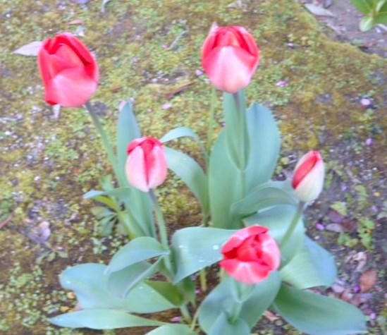 綺麗に咲いた赤色チュウリップ