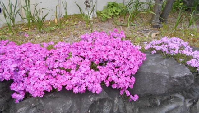 綺麗に咲く「芝サクラ」