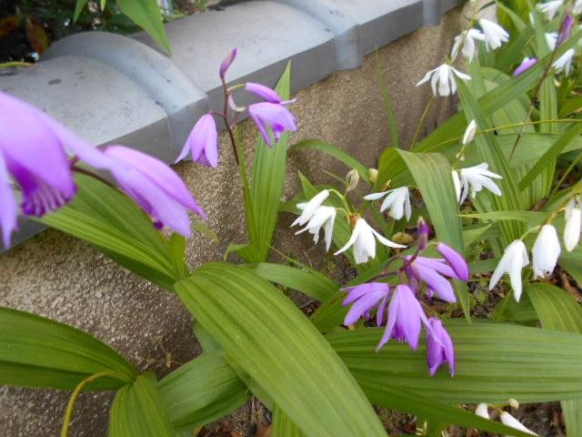 花一杯の「紫蘭」