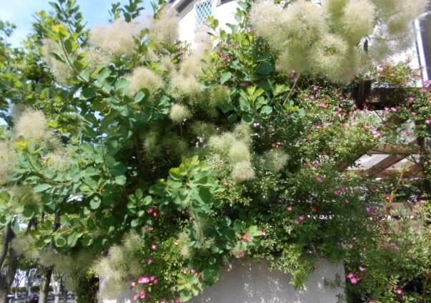 「綿の花」
